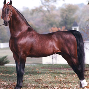 Saddlebred-SQ