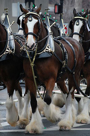 Budweiser Clydesdales. Photo by Paul Keleher