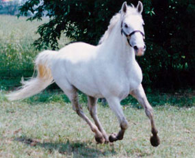 Lipizzan. Courtesy of Lipizzan Association of North America